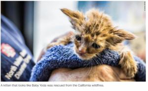 Baby Yoda Kitten